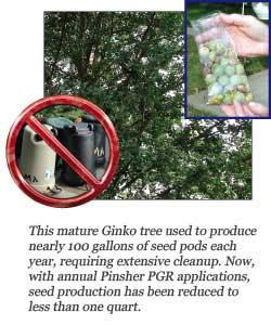 Messy Gingko Tree